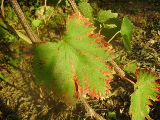 Листья винограда покрылись коричневыми пятнами - последствия грибковой инфекции