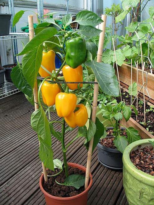 Можно ли вырастить сладкий болгарский перец в домашних условиях на балконе