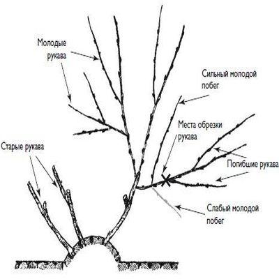 Обрезка винограда осенью для новичков - какие ветви подлежат удалению