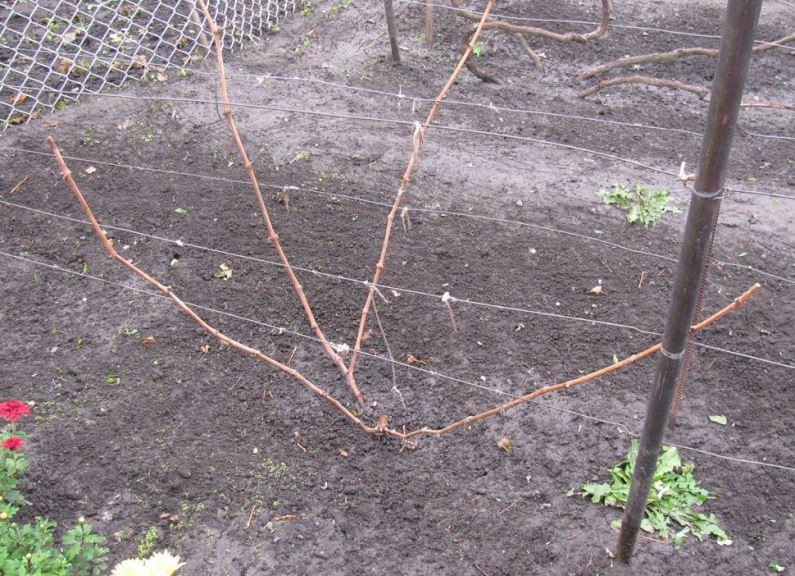 Обрезка винограда осенью для новичков - какую схему обрезки выбрать