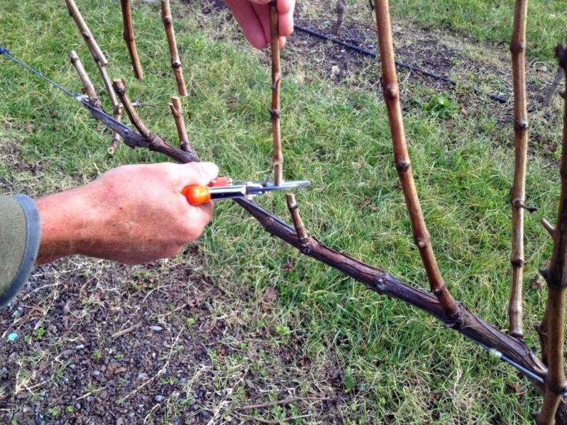 Обрезка винограда осенью для новичков - основные правила выполнения процедуры