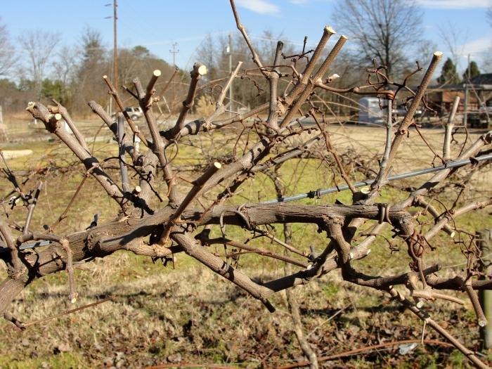 Обрезка винограда осенью для новичков - отличия от обрезки в другие сезоны