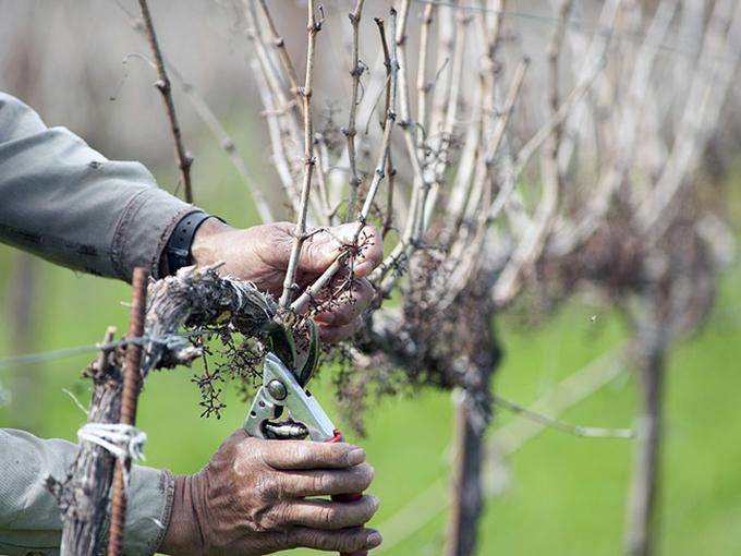 Обрезка винограда осенью для новичков - простая схема формирования куста