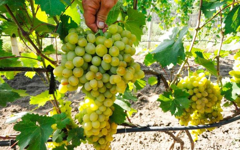 Основные правила ухода за виноградом Супер Экстра
