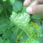 Клещ паутинный на винограде