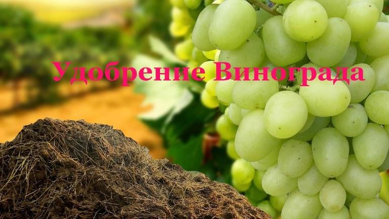 Подкормка винограда - чем подкормить виноградный куст весной