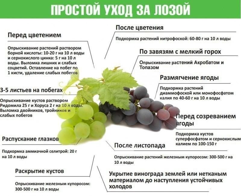 Подкормка винограда - простые советы по улучшению плодоношения