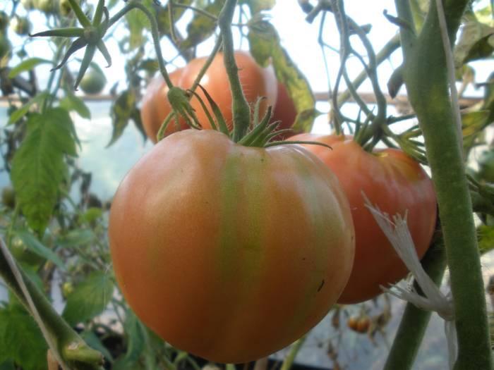 Помидоры Вельможа - цвет, форма и вкусовые качества плодов