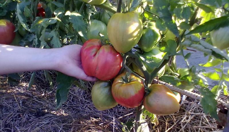 Помидоры Вельможа - уход и порядок внесения подкормок для получения крупноплодного урожая томатов