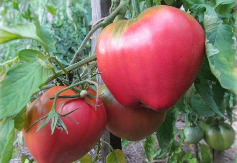 Помидоры батяня - отзывы огородников о томате