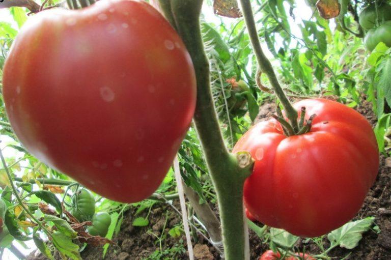 Помидоры батяня - сроки созревания овоща