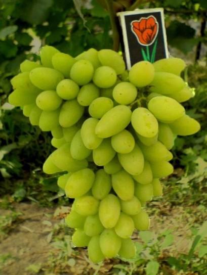 Профилактика болезней и вредителей винограда сорта тимур