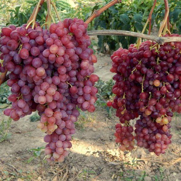 Ранние сорта винограда - бессемянный Велес