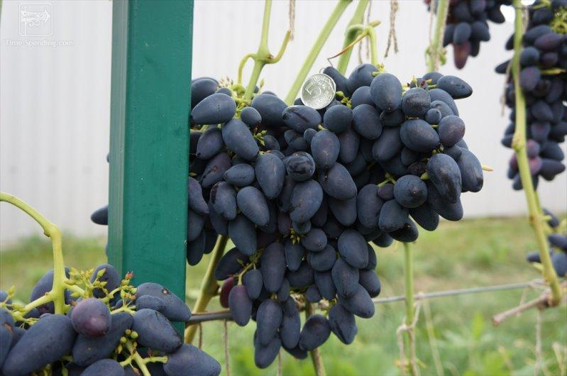 Ранние сорта винограда - болезнеустойчивый Викинг