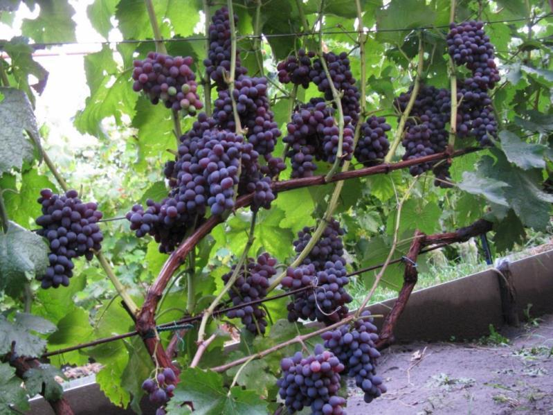 Ранние сорта винограда - многоцветный Юпитер