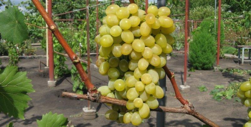 Ранние сорта винограда - неприхотливый Августин
