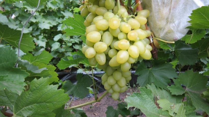 Ранние сорта винограда - ранняя Аркадия