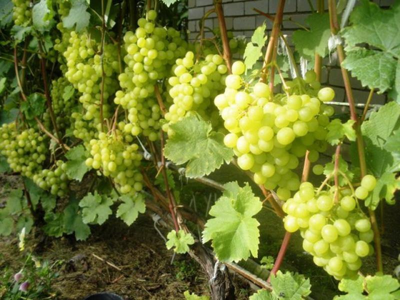 Ранние сорта винограда - сильнорослый Алешенькин