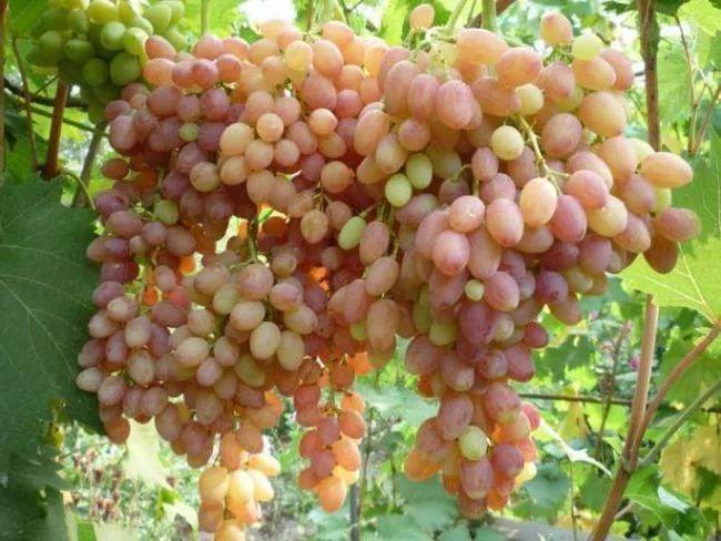 Ранние сорта винограда - столовый Тасон