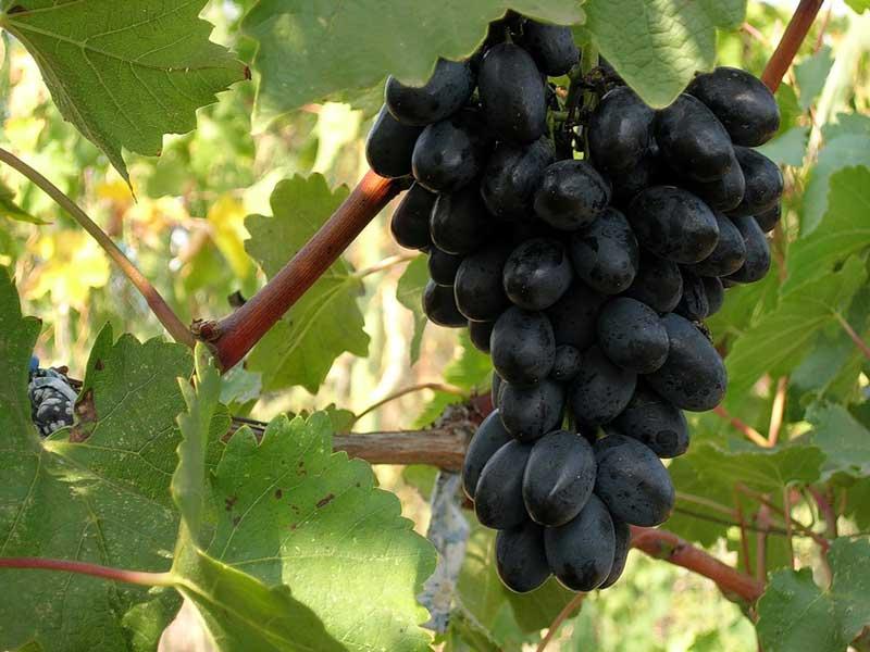 Ранние сорта винограда - сверхранняя Кодрянка