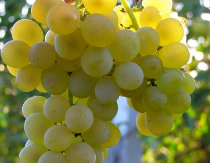 Ранние сорта винограда - технический Кристалл