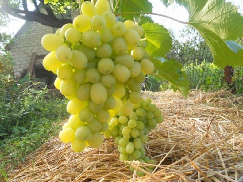 Ранние сорта винограда - укрывная Лора
