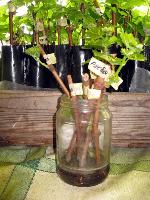 Размножение винограда черенками - как правильно заготовить и укоренить черенок