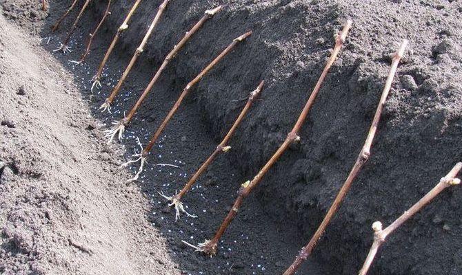 Размножение винограда черенками - посадка укорененных саженцев