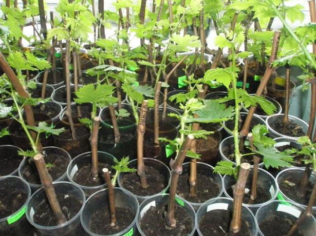 Размножение винограда черенками в домашних условиях -правила укоренения черенков