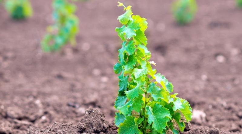 Росток молодого винограда, выращенный из косточки