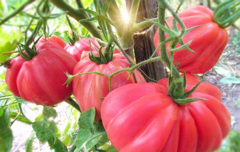 Розовые помидоры - гибрид инжир розовый