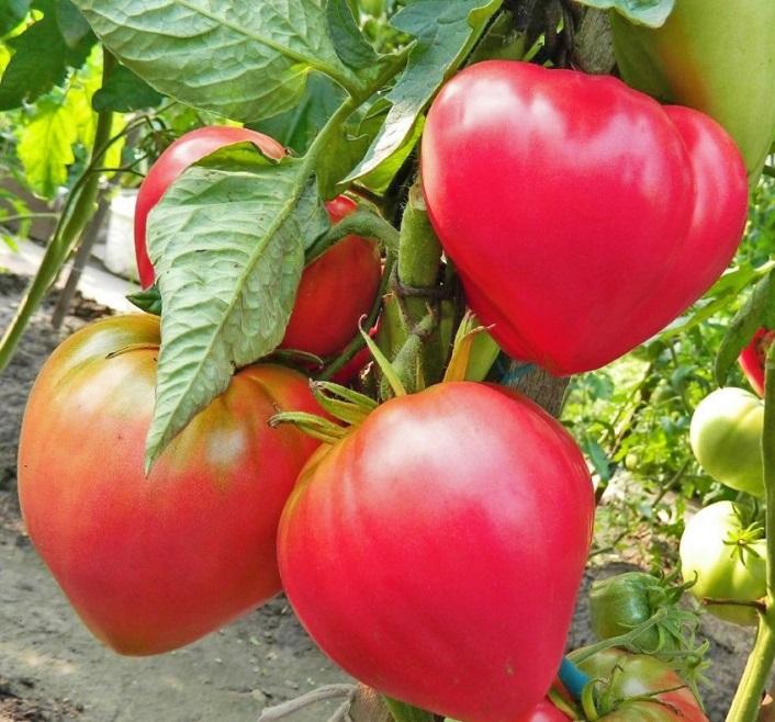 Розовые помидоры - сердцевидный Абаканский