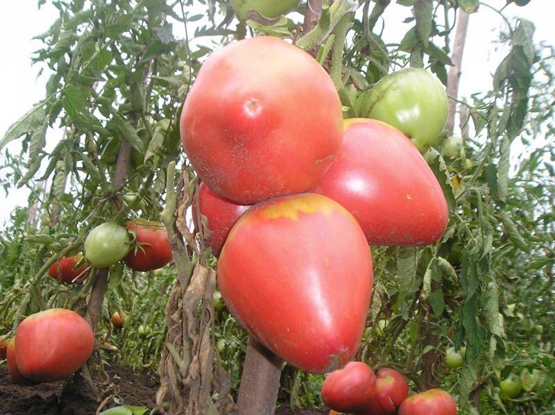 Розовые помидоры - сладкий Розовый мед