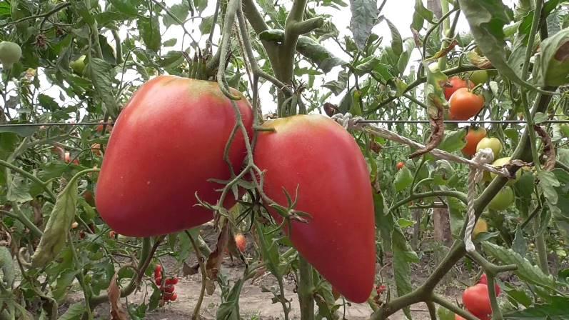 Розовые помидоры - сорт Чудо земли с ранним сроком созревания