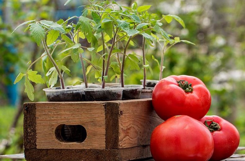 Томаты Вельможа - поддержка светового режима во время выращивания рассады
