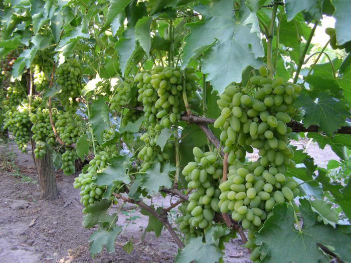 Устойчивость винограда Тимур к холодам и засухе