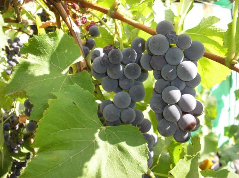 Виноград Изабелла - крупноплодный технический сорт