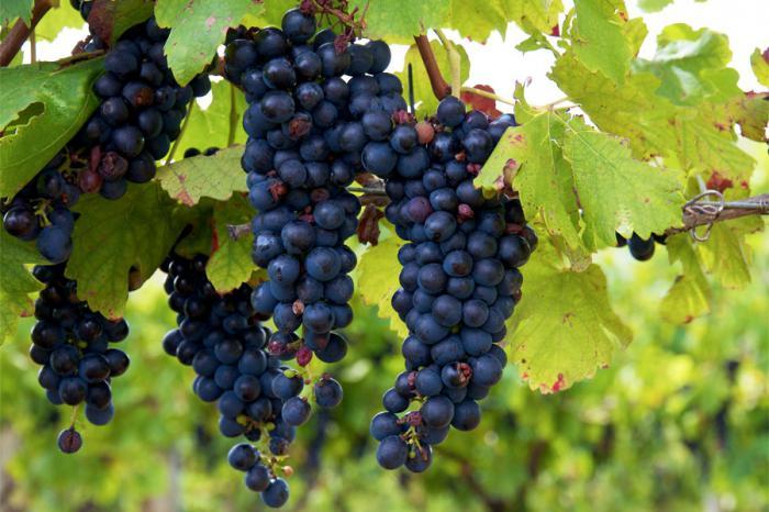 Виноград Изабелла - описание и характеристики сорта