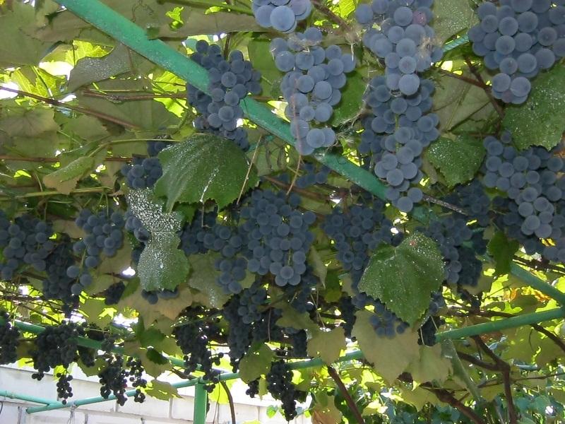 Виноград Изабелла - особенности плодов