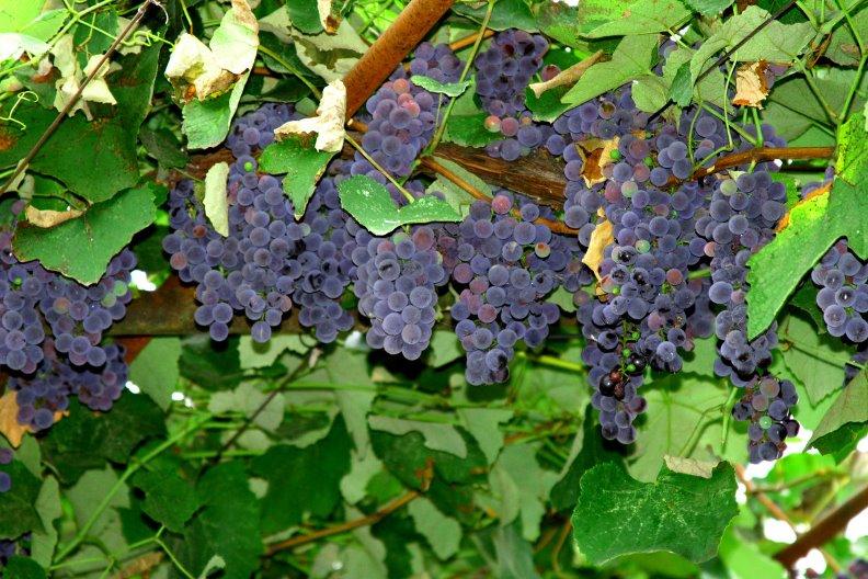 Виноград Изабелла - поэтапный алгоритм выращивания столовой культуры
