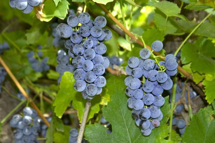 Виноград Изабелла - полезные свойства ягод