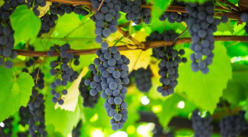 Виноград Изабелла - правильный уход за лозой