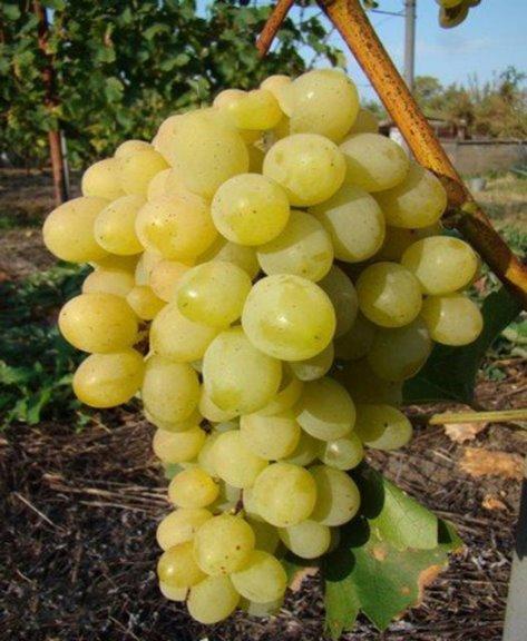 Виноград Супер Экстра - особенности вкуса плодов