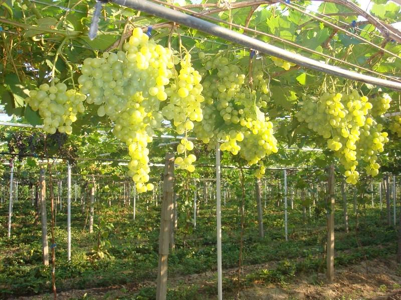 Виноград Супер Экстра - вегетация и сроки созревания