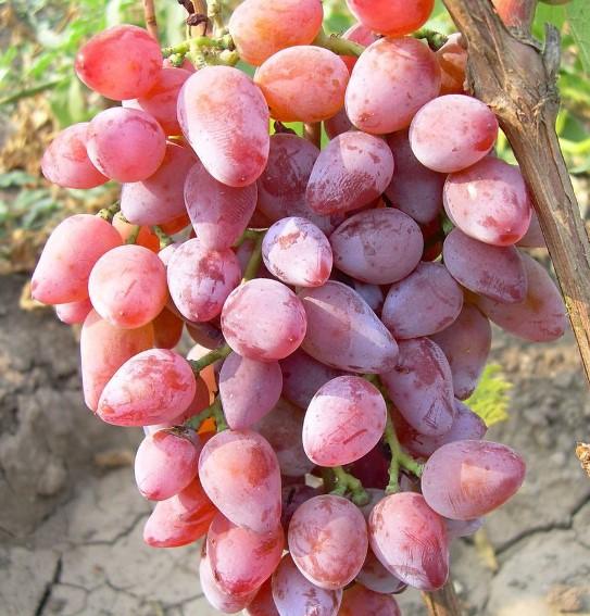 Виноград Тимур - сортотип Тимур розовый