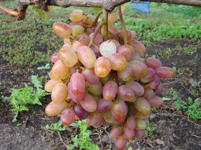 Виноград Виктор - как создать оптимальные условия для выращивания культуры