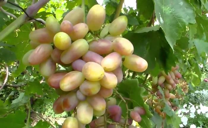 Виноград Виктор - основные характеристики сорта