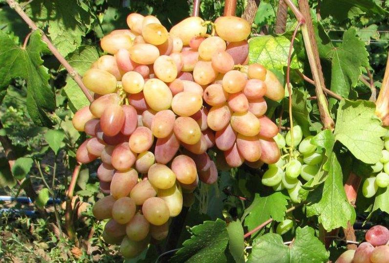 Виноград Виктор - особенности ухода за сортом