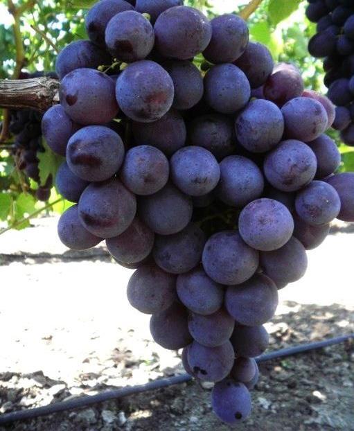Виноград рошфор - особенности плодоношения и сроки созревания
