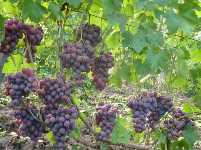 Виноград рошфор - специфика выращивания, подбор грунта, оптимальное время посадки